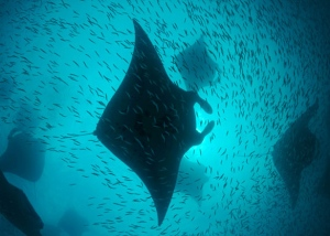 Manta Ray Feeding Frenzy Source National Geographic
